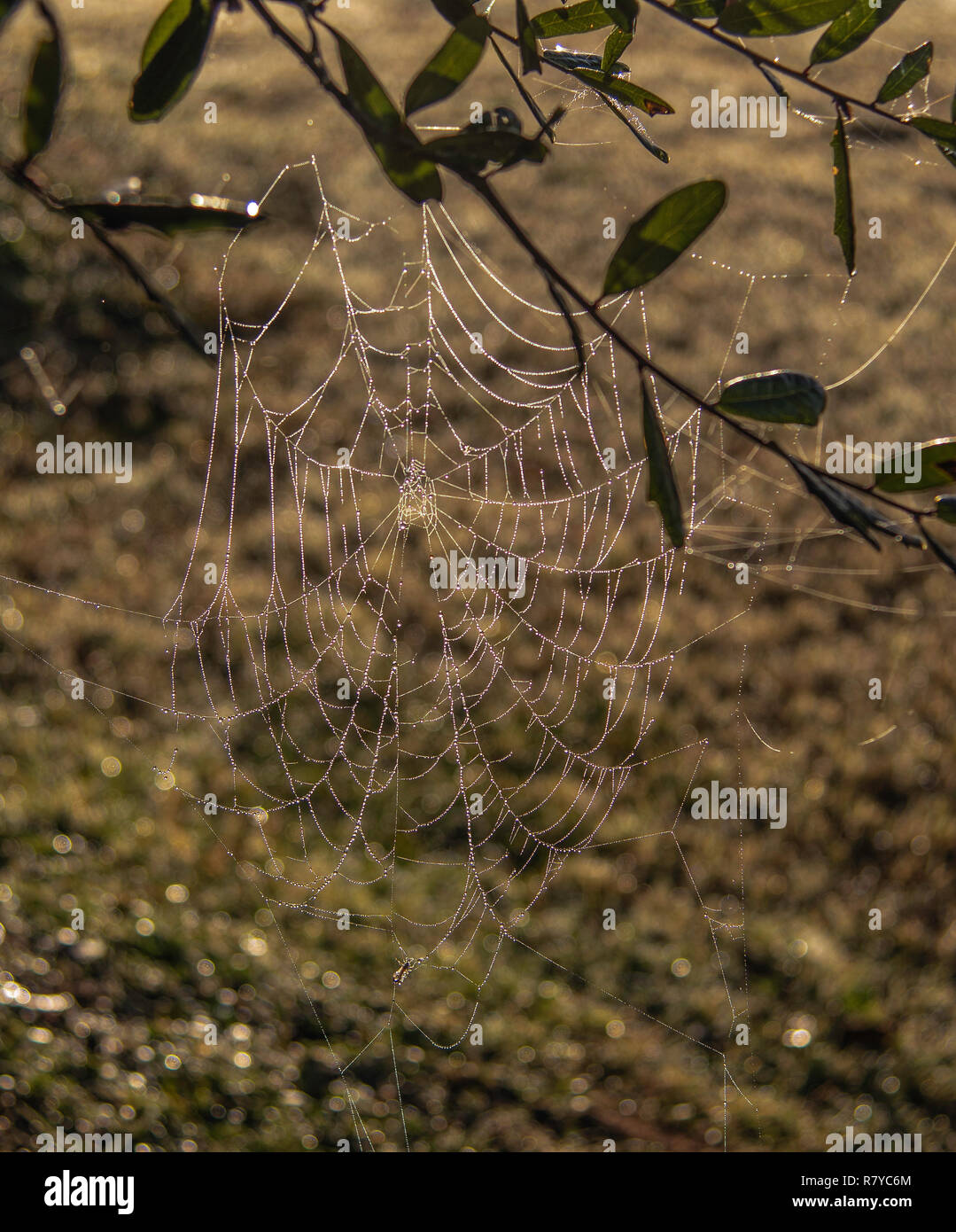 A bedewed spider web is back-lighted by the rising sun on a fall morning. - Stock Image