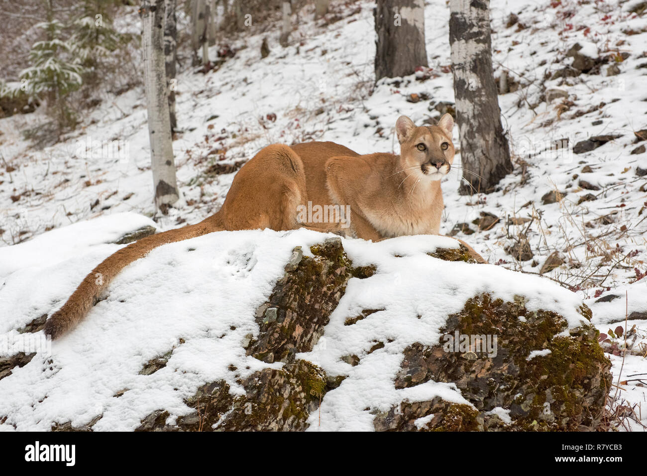 Mountain Lion Crouched down atop a Boulder in Snow, Looking Up - Stock Image