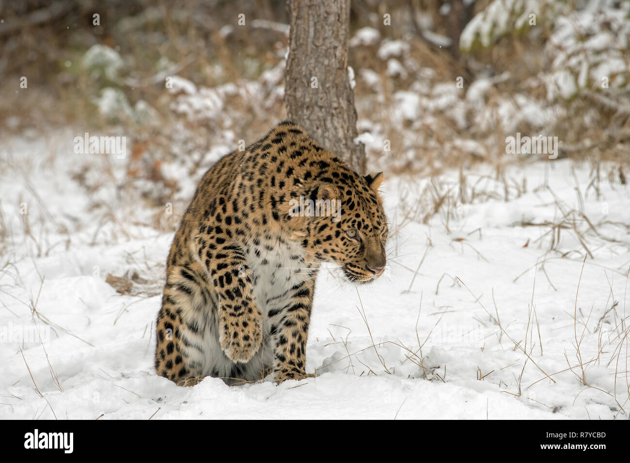 Amur Leopard lifting his Paw from the Snow - Stock Image