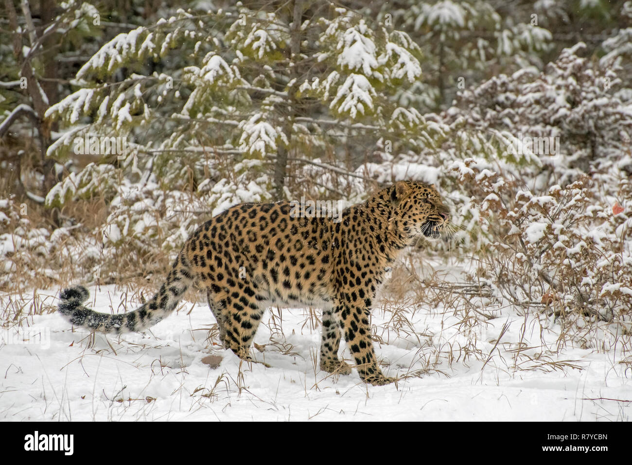 Amur Leopard Growling in front of the Evergreen Trees during a Snowfall - Stock Image