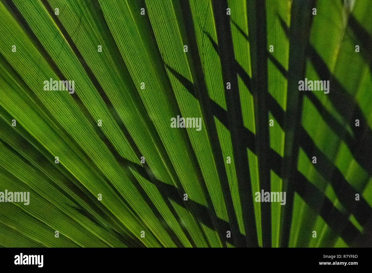 Palm fan close up with shadow of fronds - native plant to Aruba - dark green palm leaf at night with pointy sharp palm leaves silhouetted behind - Stock Image