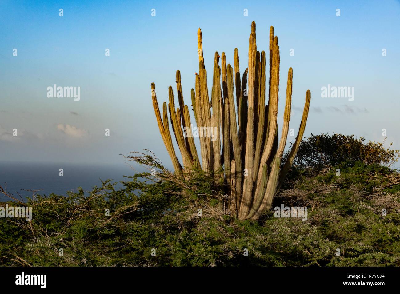Aruba landscape - Stenocereus griseus cactus bush - a native Aruban plant at sunset - aka columnar cacti - Aruba desert landscape and Caribbean ocean - Stock Image