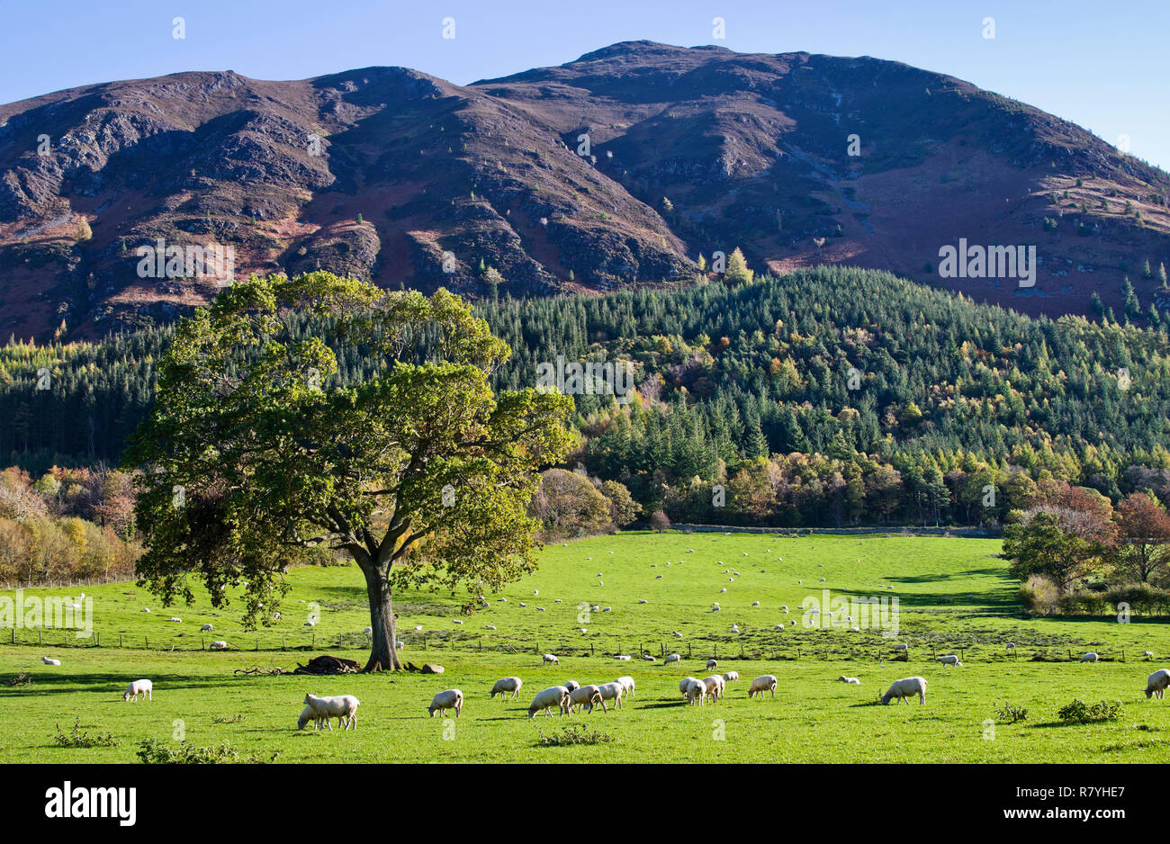 Sheep grazing in autumn sunshine in beautiful meadow beneath partly forested slopes of Ullock Pike, Lake District, Cumbria, England UK. Stock Photo