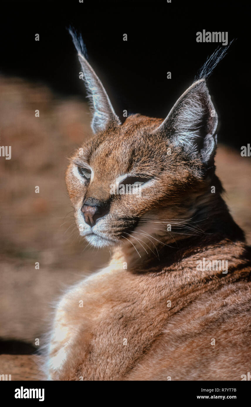 The Caracal (Caracal caracal)-medium-sized wild cat native to Africa, the Middle East, Central Asia, and India. A captive animal enjoying morning sun. - Stock Image