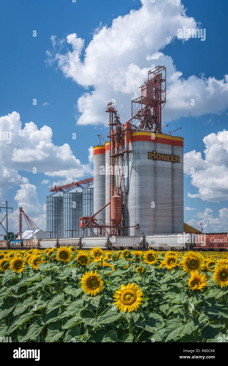 A Pioneer Grain inland grain handling terminal and a blooming sunflower field near Brunkild, Manitoba, Canada. - Stock Image