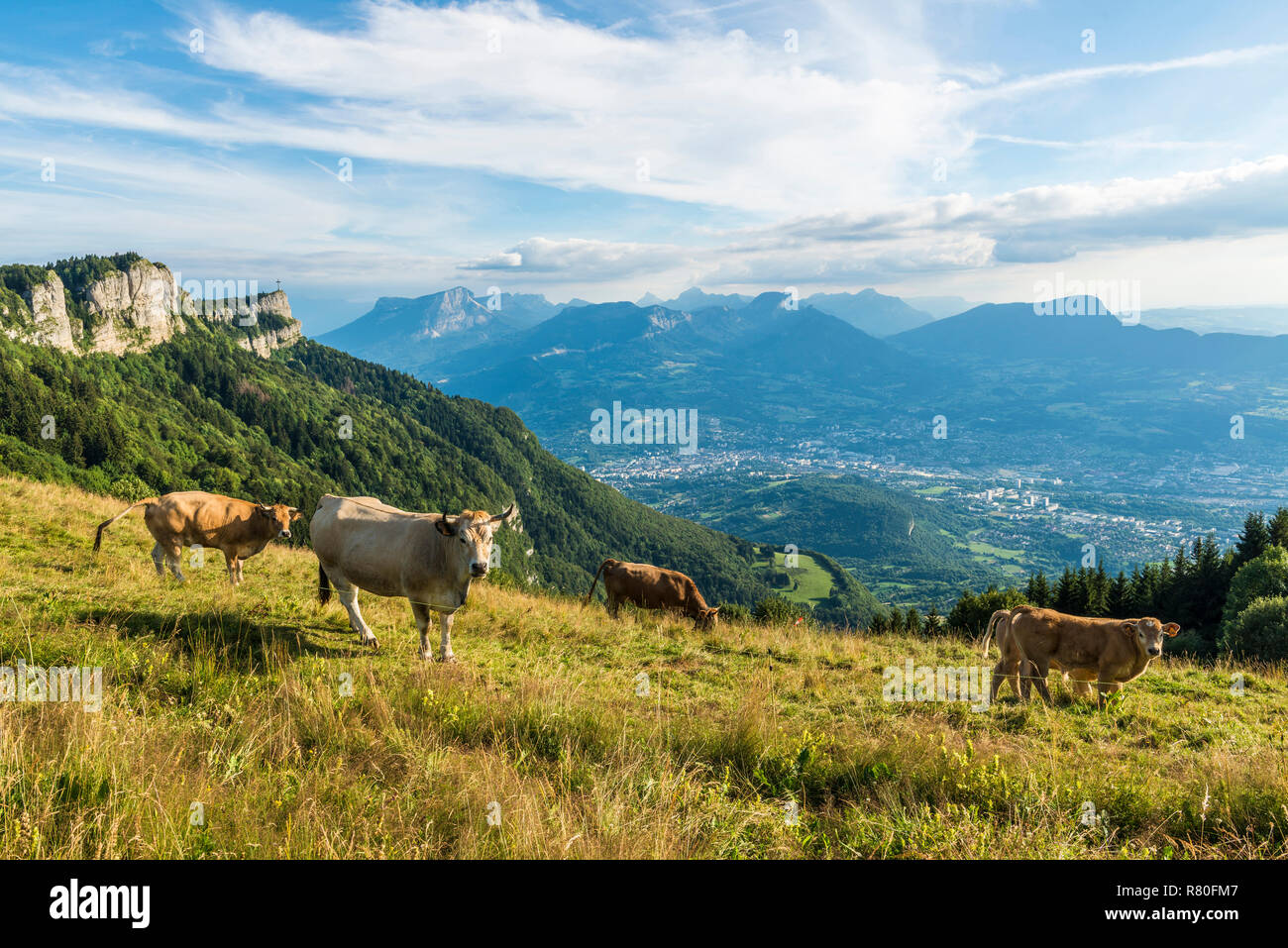 Herd of Tarentaise cows in a field on the site of Le-Sire, near the ski resort of La Feclaz, in the heart of the Bauges Massif Regional Nature Park. - Stock Image