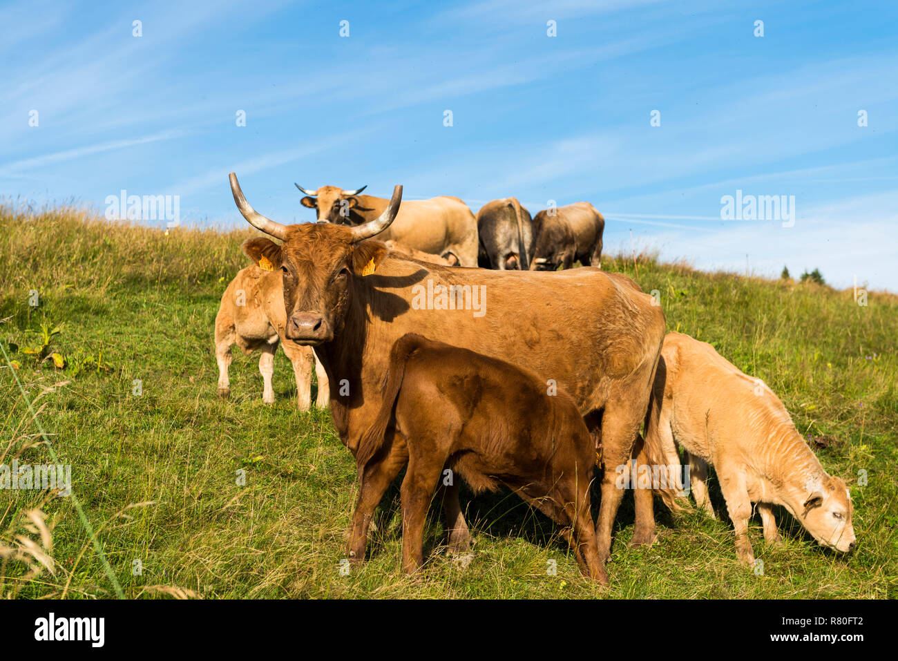 Herd of Tarentaise cows in a field on the site of Le-Sire, near the ski resort of La Feclaz, in the heart of the Bauges Massif Regional Nature Park. C - Stock Image