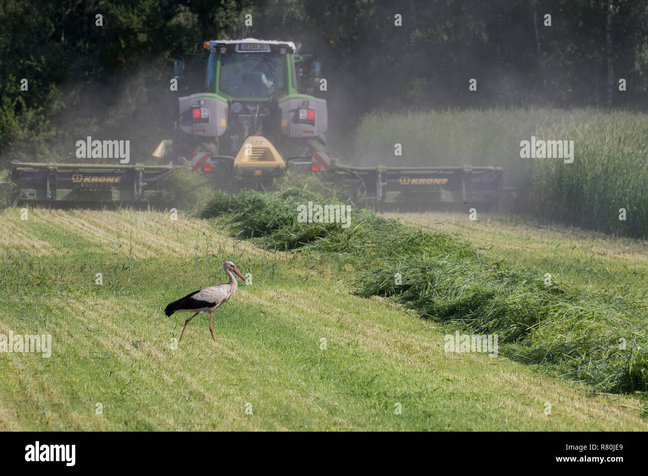 European White Stork (Ciconia ciconia). Adult foraging on a meadow next to a mowing machine. Germany Stock Photo