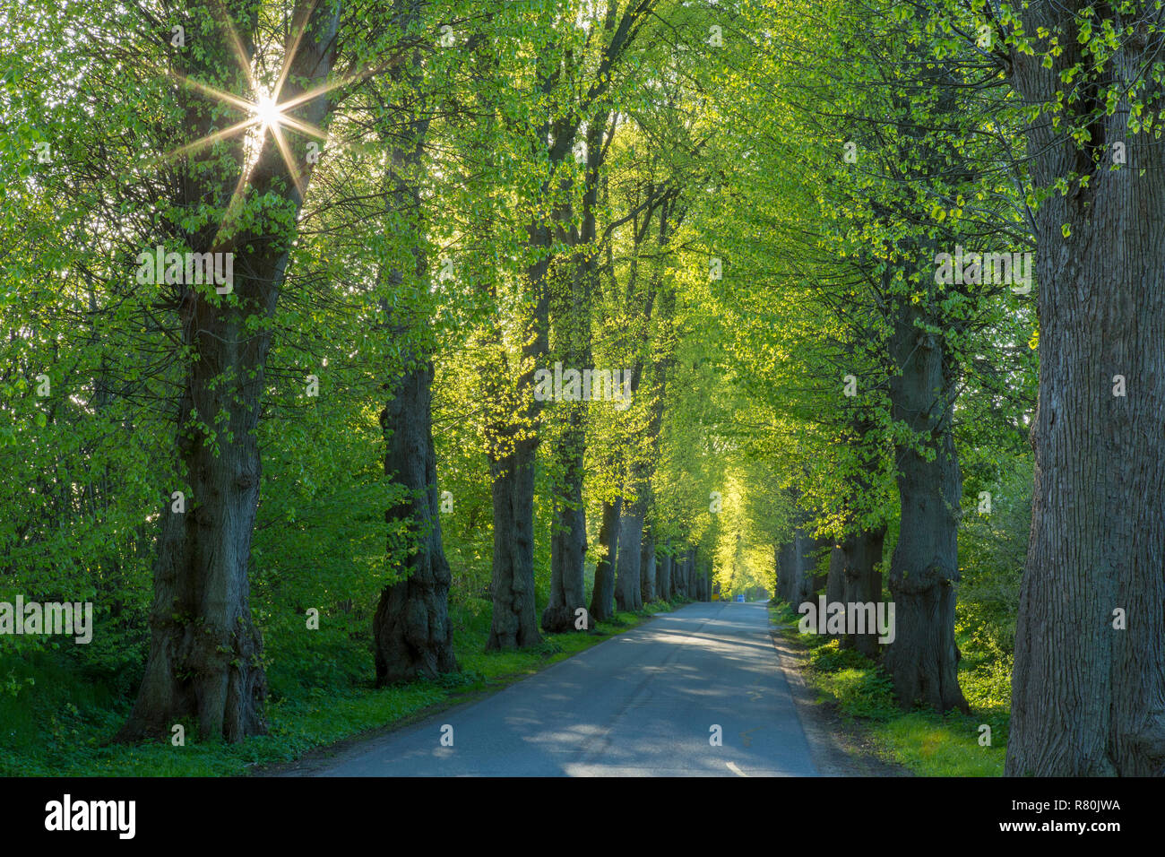 Large-leaved Lime (Tilia platyphyllos). Tree avenue in spring. Schleswig-Holstein, Deutschland Stock Photo