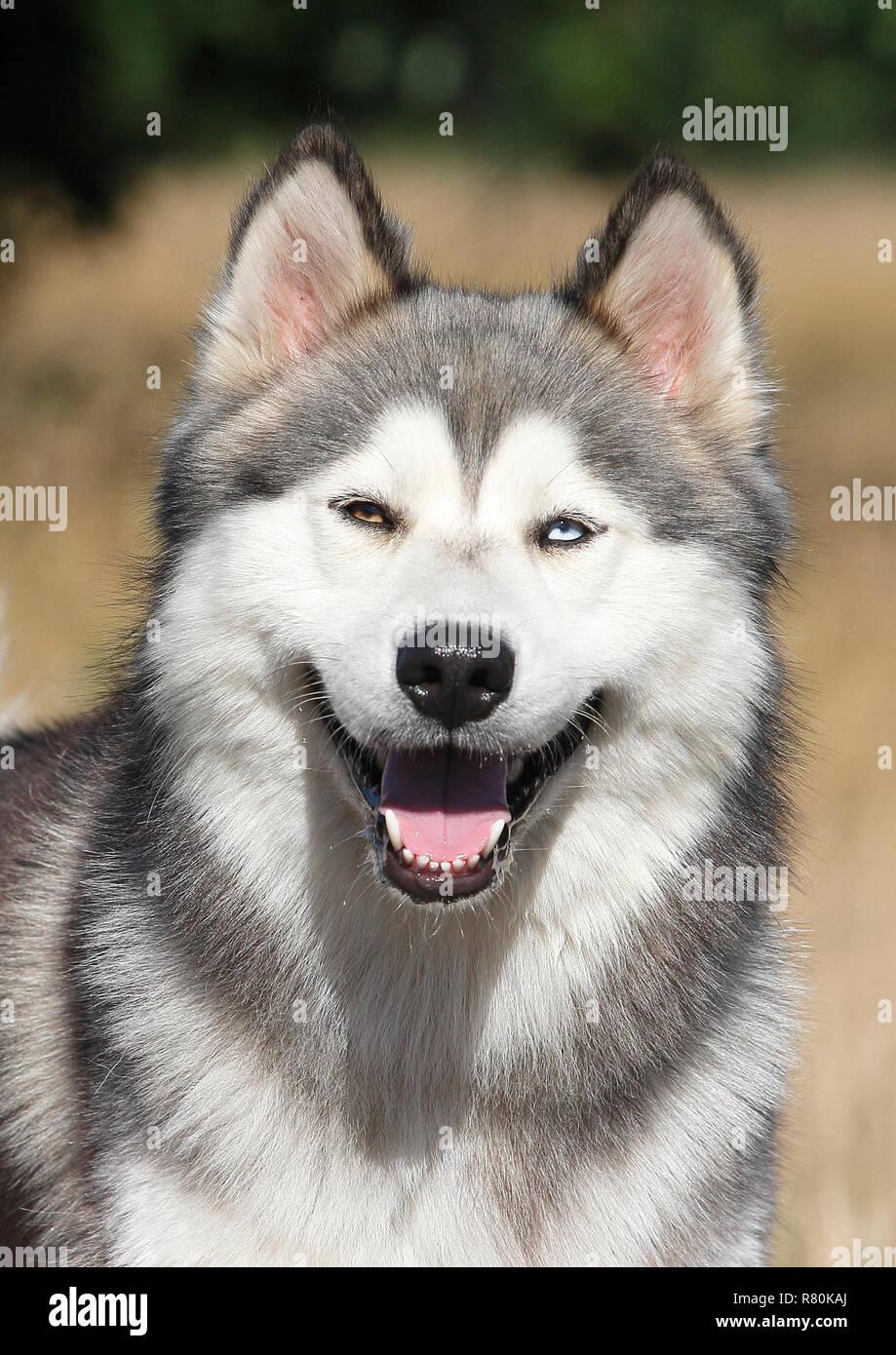 Siberian Husky X Malamute Portrait Of Male 2 Years Old Germany