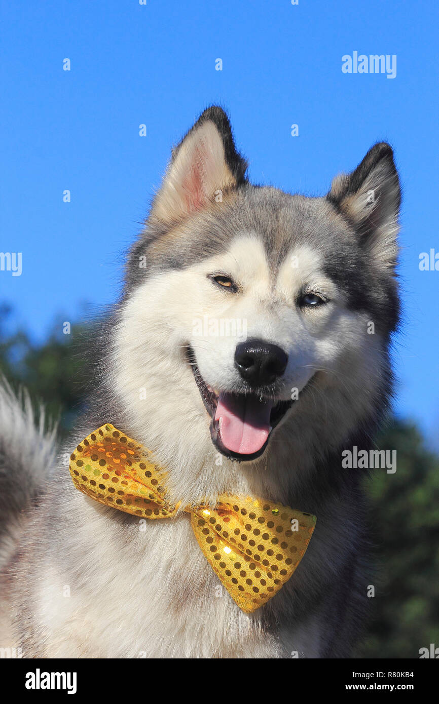 Siberian Husky x Malamute. Portrait of male (2 years old), wearing a bow tie. Germany - Stock Image