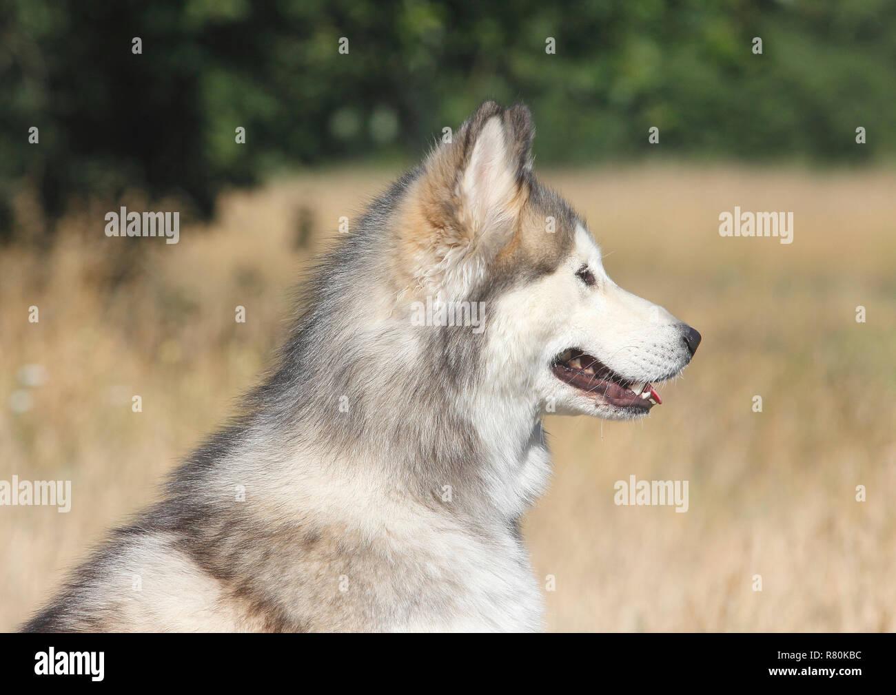 Siberian Husky X Malamute Portrait Of Male 2 Years Old Seen Side