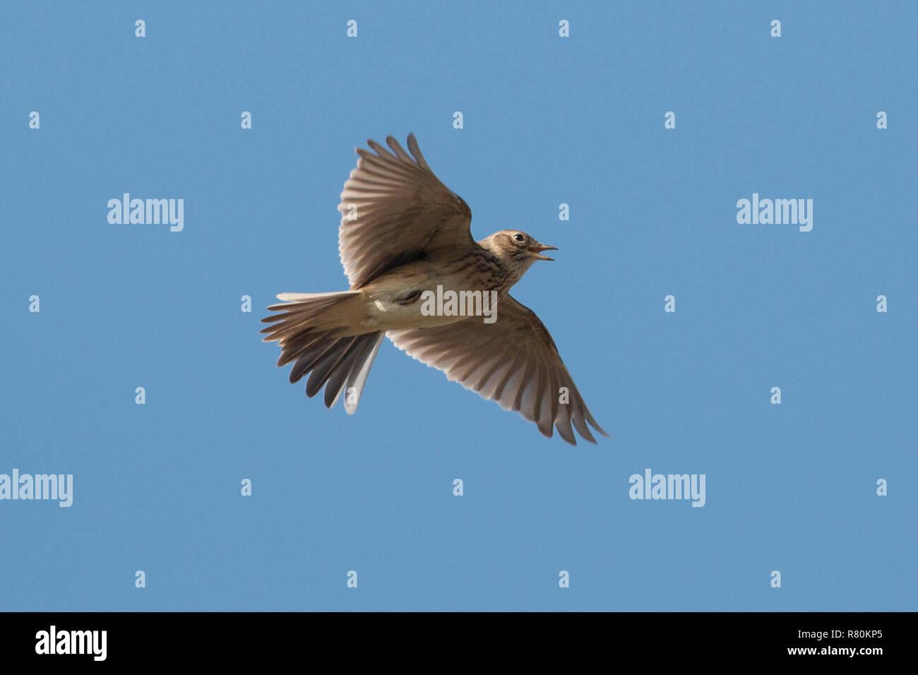 Skylark (Alauda arvensis) in flight, singing. Germany - Stock Image
