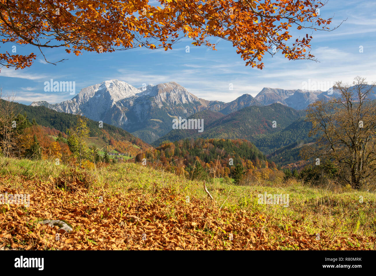 Beech in autumnal alpine landscape with the mountain Hoher Goell in background. Berchtesgadener Land, Bavaria, Germany Stock Photo