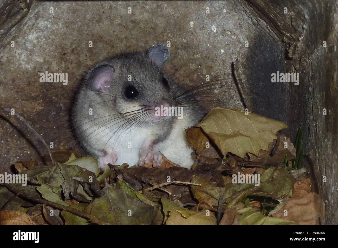 Edible Dormouse (Glis glis). Dormice only stay in summer quarters until daytime and nighttime temperatures remain near freezing or below. This animal was the last to spend another day in the nesting box. Germany - Stock Image