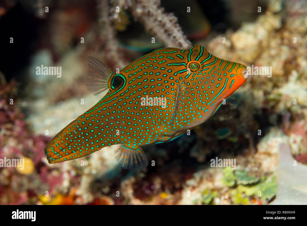 Spotted Sharpnose (Canthigaster solandri) in coral reef. Banda Sea, Sulawesi, Indonesia - Stock Image