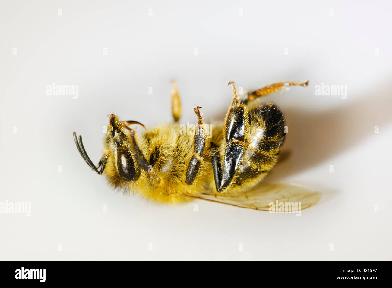 Dead honey bee (Apis mellifera), Colony collapse disorder, insect death, Germany - Stock Image