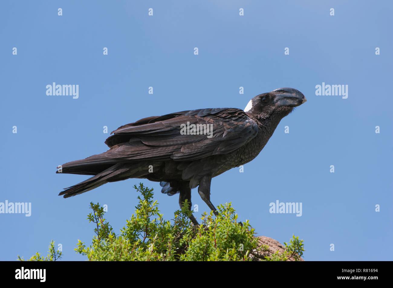 Thick-billed Raven (Corvus crassirostris), Simien Mountains National Park, Amhara Region, Ethiopia - Stock Image