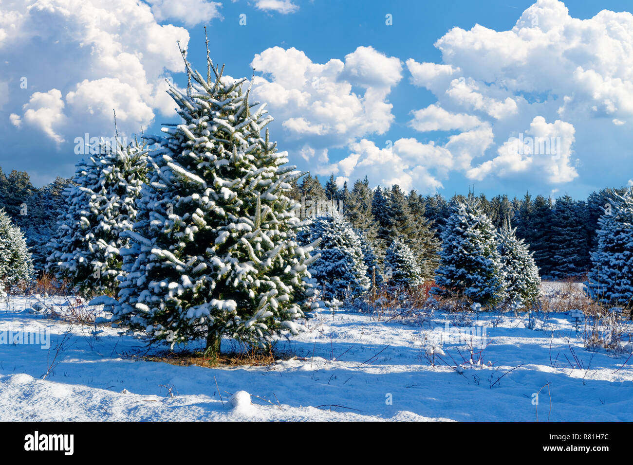 Balsam Fir Trees Stock Photos & Balsam Fir Trees Stock