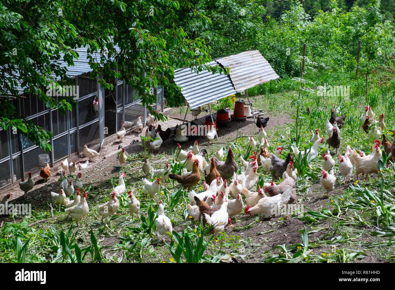 Free range chickens in a field with grass and plants Stock Photo