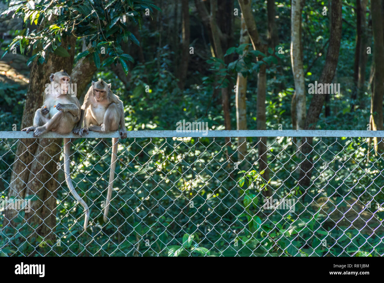 2 Macaques monkeys sat on top of a wire fence at the edge of a forest. - Stock Image