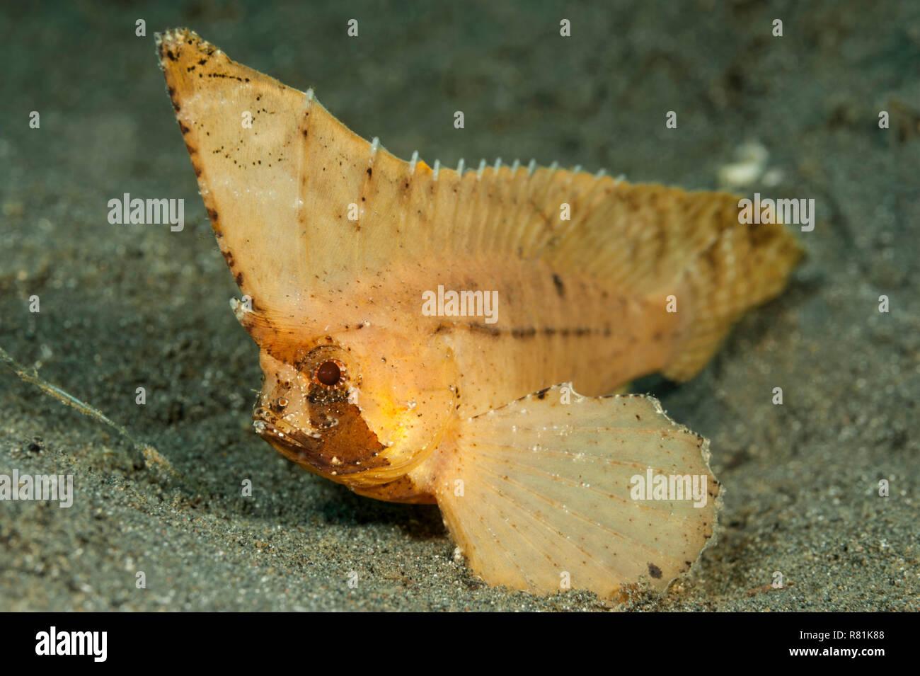 Spiny Waspfish, Spiny-leaf Fish (Ablabys macracanthus). Celebes Sea, Manado, Sulawesi, Indonesia - Stock Image