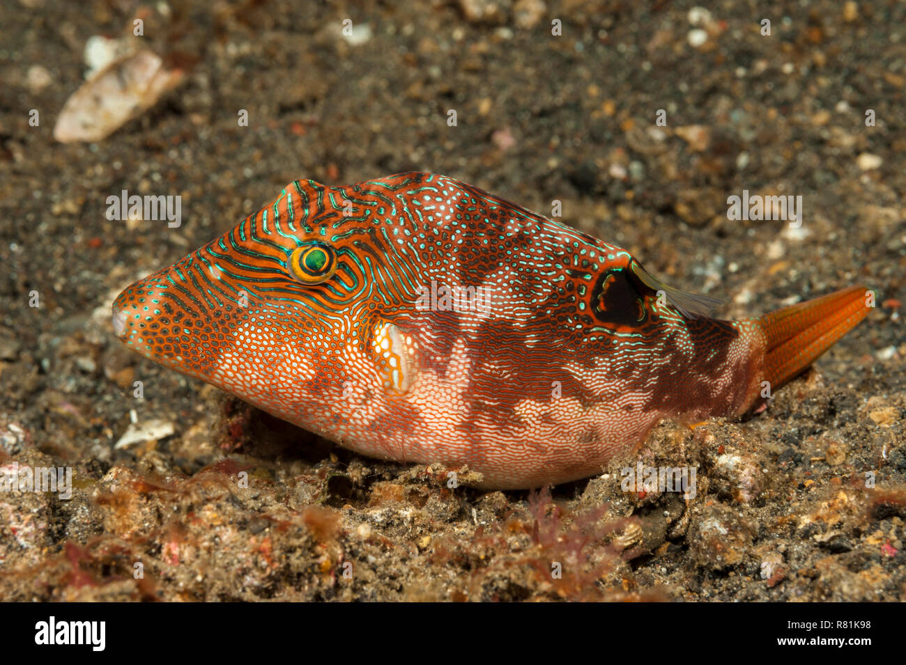 Fingerprint Toby, Compressed Toby (Canthigaster compressa). Molucca Sea, Lembeh Strait, North Sulawesi, Indonesia - Stock Image