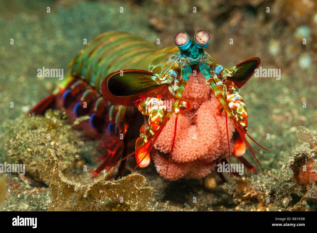 Peacock Mantis Shrimp (Odontodactylus scyllarus). Female with eggs. Molucca Sea, Lembeh Strait, Sulawesi, Indonesia - Stock Image