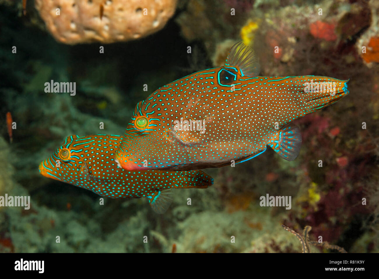 Sharpnose Puffer (Canthigaster solandri). Two individuals in Celebes Sea, North Sulawesi, Indonesia - Stock Image
