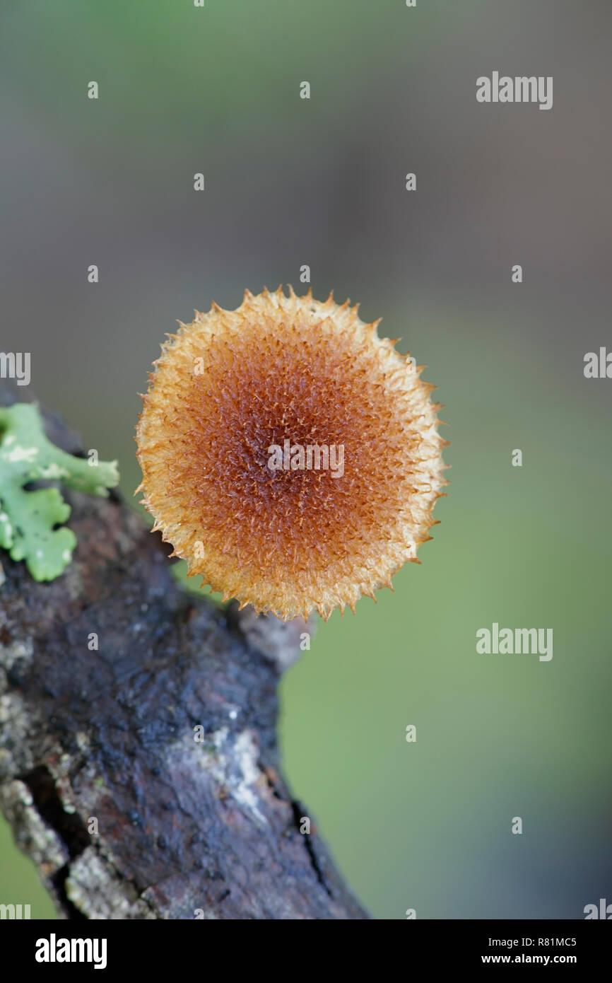 Hedgehog scalycap, Phaeomarasmius erinaceus - Stock Image