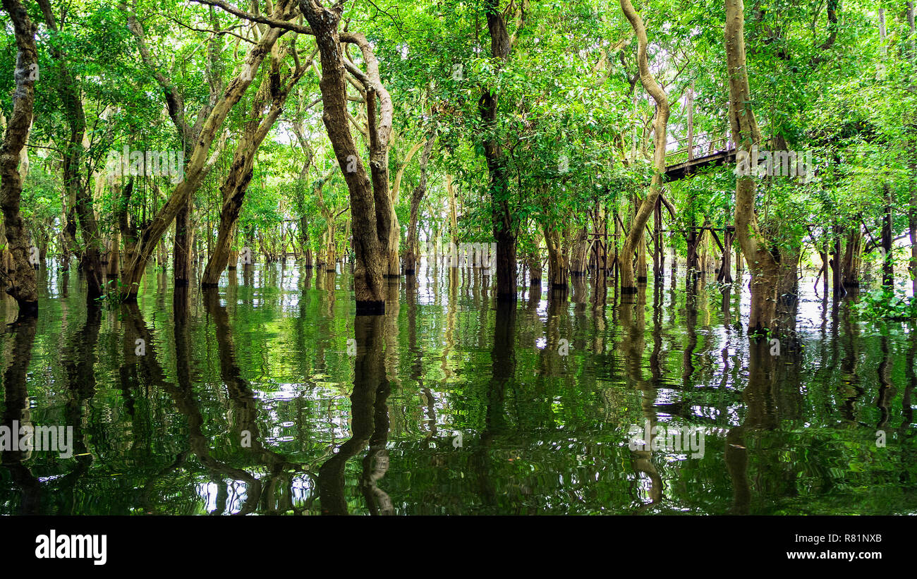 Siem Reap Tonle Sap Kompong Phluk boat ride under mangrove tree canopy. Flooded mangrove forest surrounds the area of Kompong Phluk, a cluster of thre - Stock Image