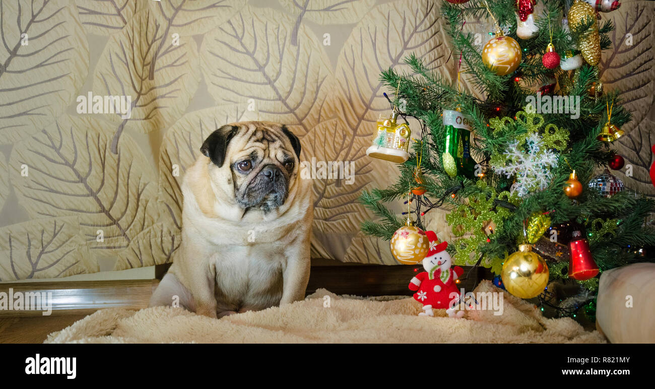 sluggish, lazy, dull dog at new year holidays. thick, fat pet is sad. beige, fawn pug sit near christmas tree. background is traditional holiday home. - Stock Image