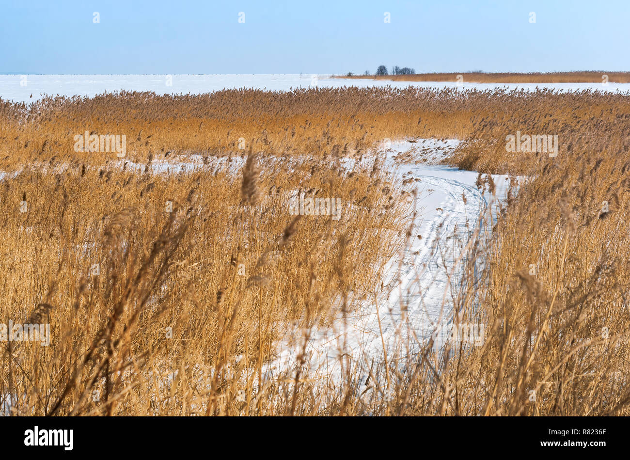 reeds on the shore of the reservoir, the path in the snow among the tall grass Stock Photo