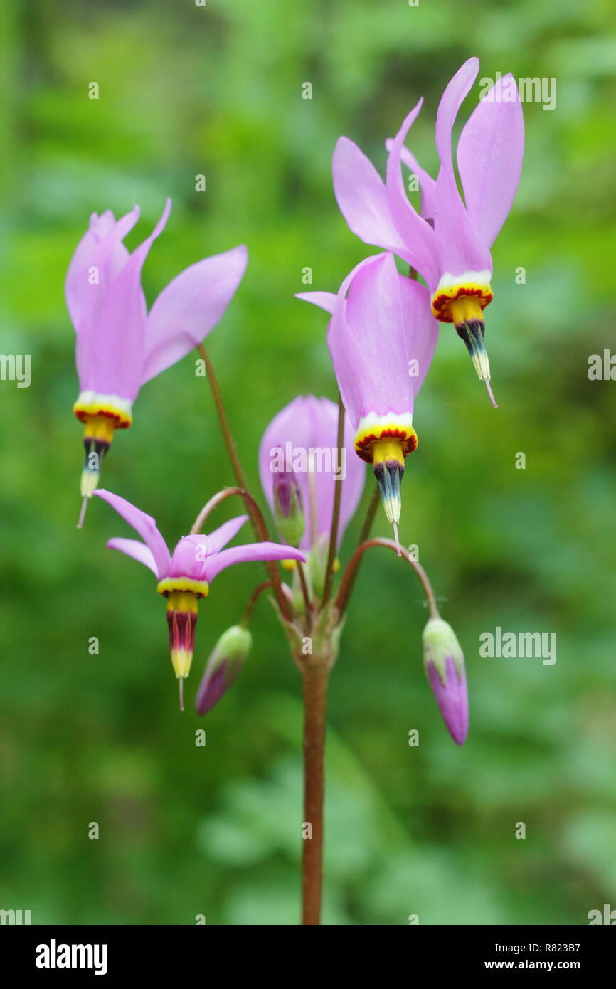Dodecatheon pulchellum Dark throat flower. Also called Pretty shooting star and Prairie shooting star. Stock Photo