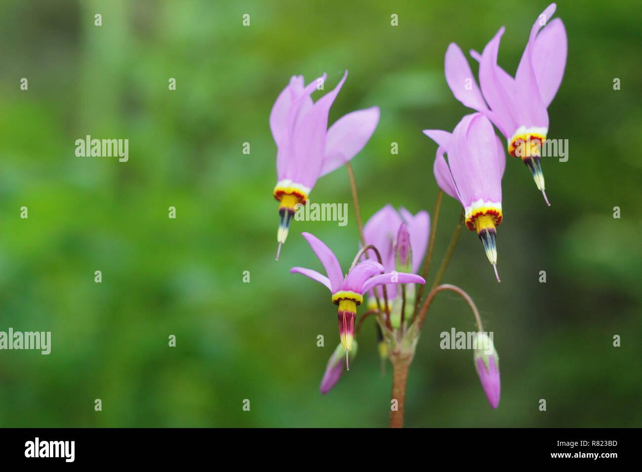 Dodecatheon pulchellum Dark throat flower. Also called Pretty shooting star and Prairie shooting star. - Stock Image