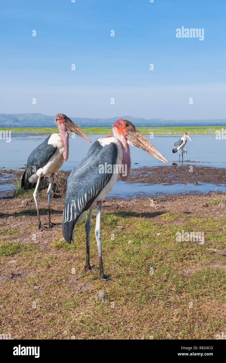 Marabou Storks (Leptoptilos crumeniferus), Awasa harbor, Awasa, Ethiopia - Stock Image