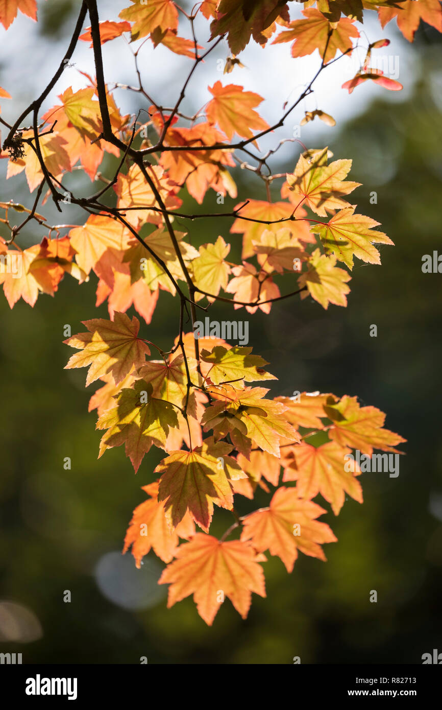 Maple tree leaves backlit in autumn colours, England, UK Stock Photo
