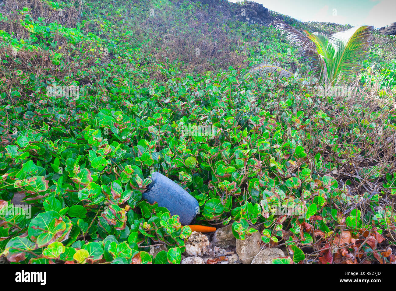Plastic waste washed in from the sea contaminates shoreline plants and trees in the Caribbean - Stock Image