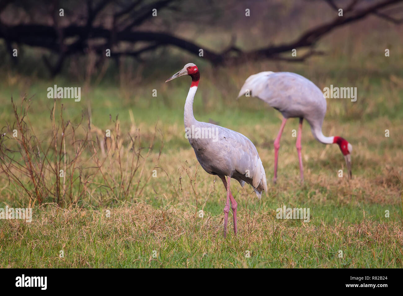 Sarus cranes (Grus antigone) in Keoladeo Ghana National Park, Bharatpur, Rajasthan, India. Sarus crane is the tallest of the flying birds. - Stock Image