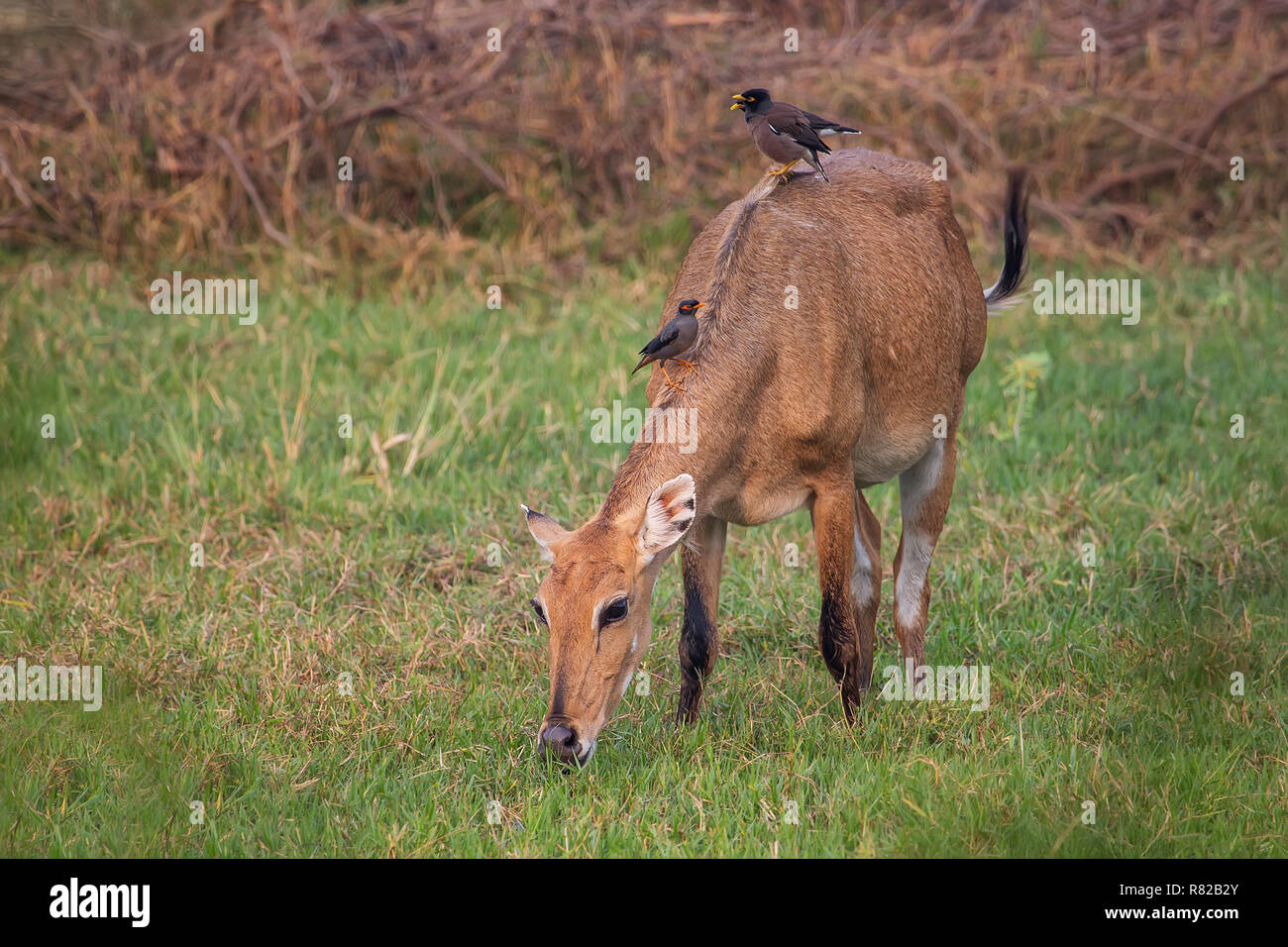 Female Nilgai with Brahminy mynas sitting on her in Keoladeo National Park, Bharatpur, India. Nilgai is the largest Asian antelope and is endemic to t - Stock Image