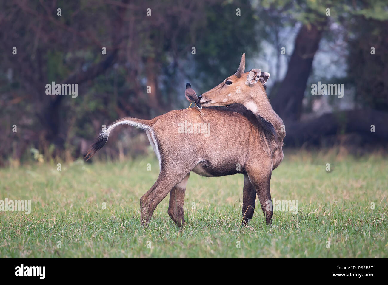 Male Nilgai with Brahminy myna sitting on him in Keoladeo National Park, Bharatpur, India. Nilgai is the largest Asian antelope and is endemic to the  - Stock Image