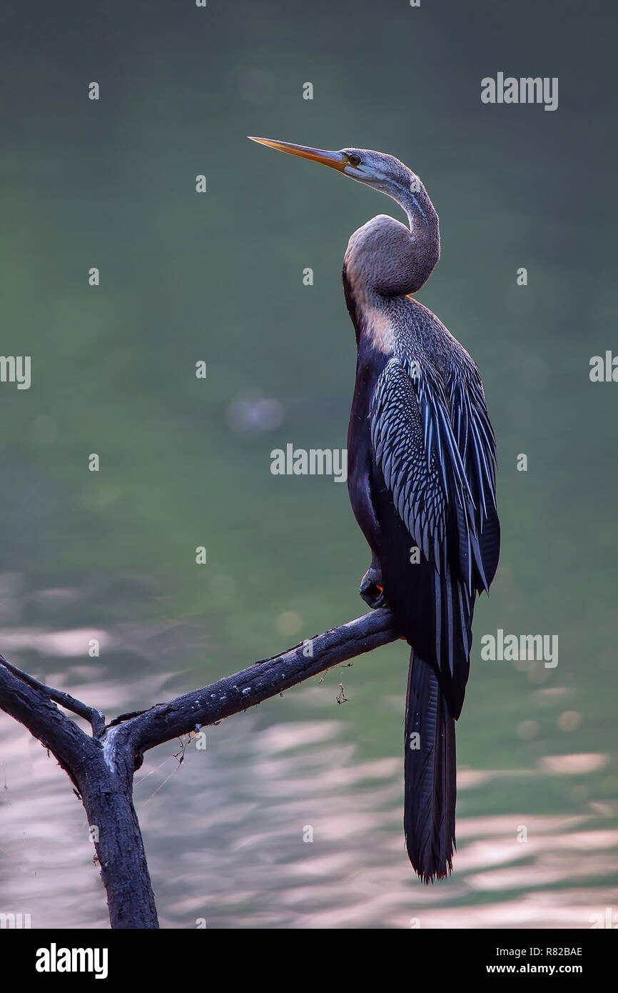 Oriental darter (Anhinga melanogaster) sitting on a tree in Keoladeo Ghana National Park, Bharatpur, India. The park was declared a protected sanctuar - Stock Image
