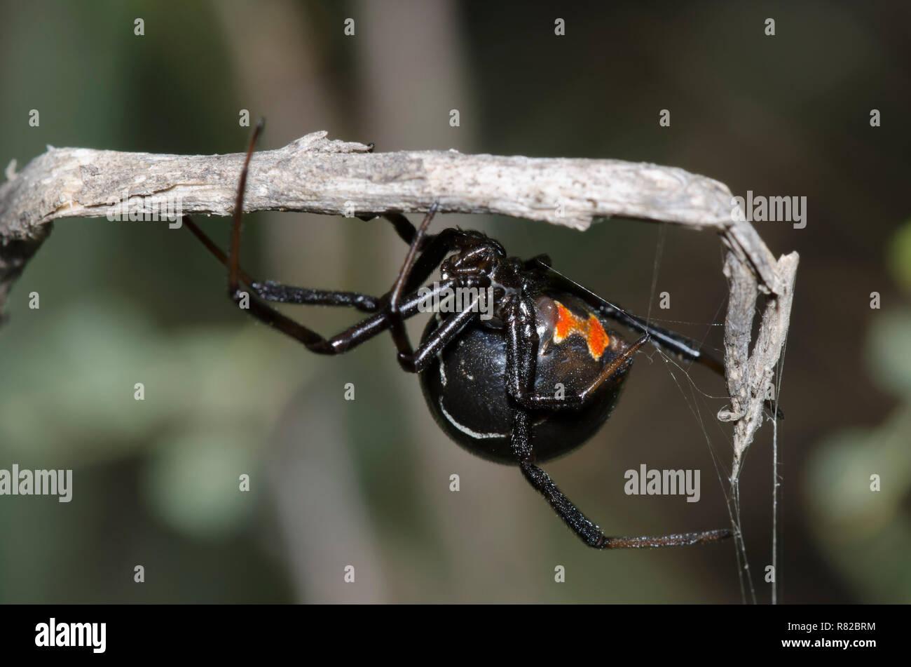 Black Widow, Latrodectus sp. - Stock Image
