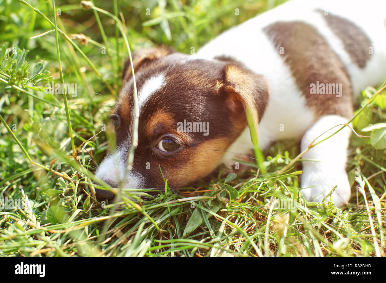 7 weeks old Jack Russell terrier puppy playing in sun lit grass, detail on head looking into camera. - Stock Image