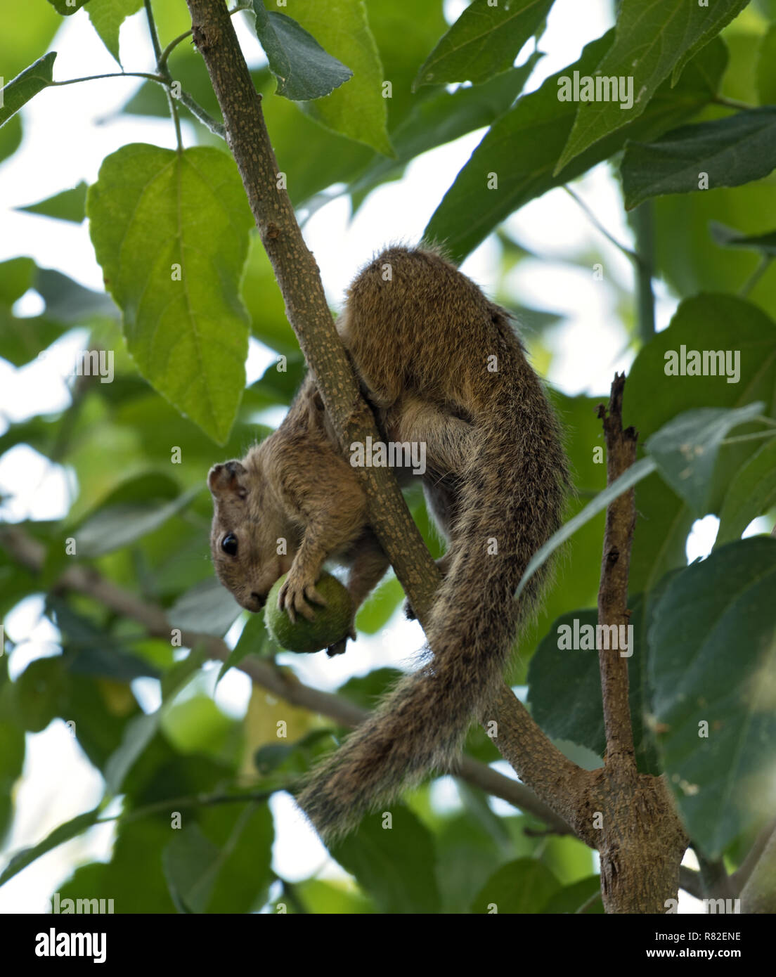 Tree squirrel (Paraxerus cepapi) sitting eating in a tree, Maun, Botswana - Stock Image