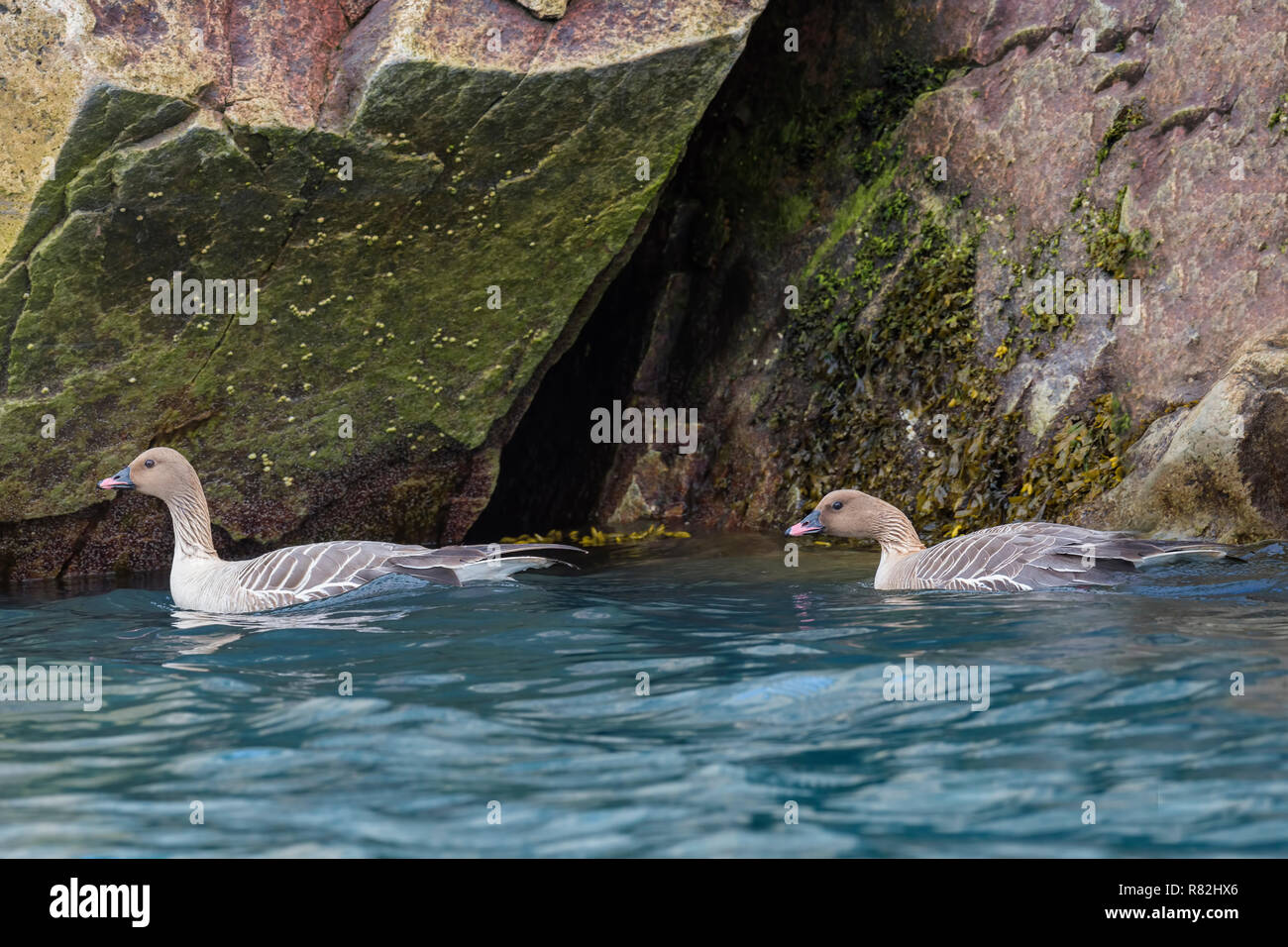 Pink-footed geese (Anser brachyrhynchus) swimming in the water, Monaco glacier, Liefdefjorden, Haakon VII Land, Spitsbergen Island, Svalbard Archipela Stock Photo