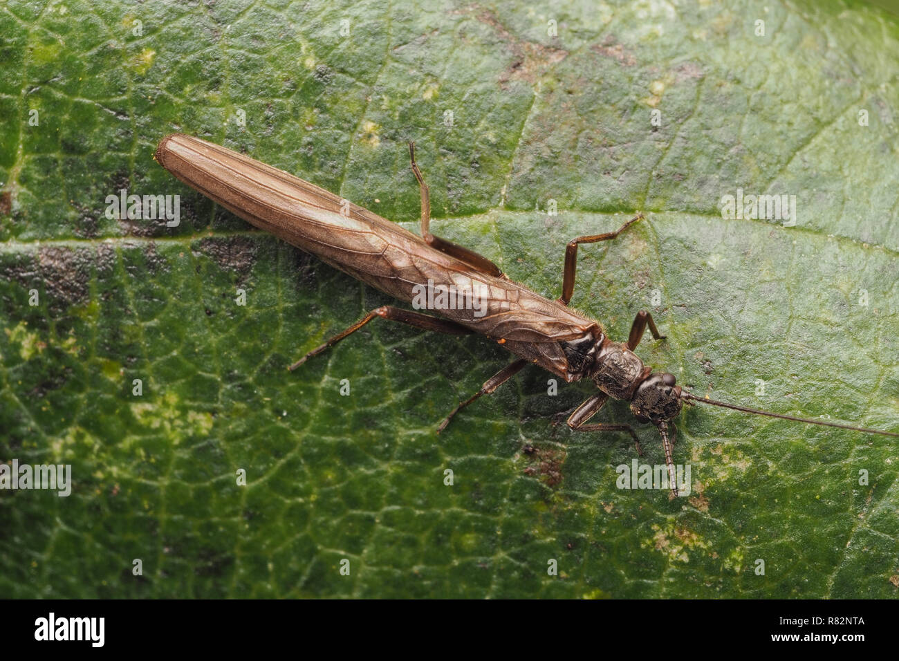 Dorsal view of Stonefly (Leuctra fusca) at rest on leaf. Tipperary, Ireland - Stock Image