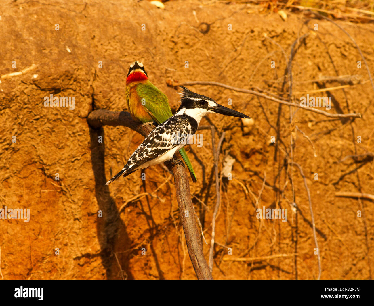 Pied Kigfishers often dig their tunnel nests on the fringes of White-fronted Bee-Eater colonies. The obvious advantage is safety in numbers - Stock Image