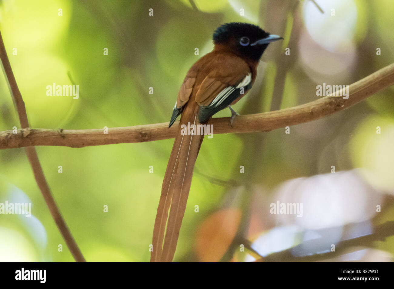 Red-bellied Paradise Flycatcher (Terpsiphone rufiventer) Stock Photo