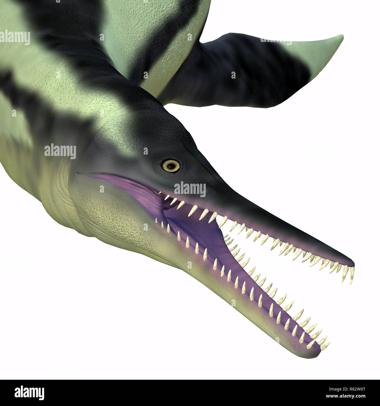 Dolichorhynchops Plesiosaur Head -Dolichorhynchops was a carnivorous reptile Plesiosaur that lived in the seas of Kansas during the Cretaceous Period. - Stock Image